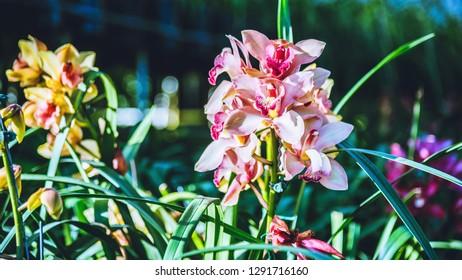 Cymbidium orchid flower in garden at winter at Chiangmai, Postcard design Cymbidium orchid.