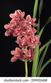 Cymbidium orchid flowers with leaves deep focus isolated on black background