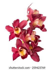 Cymbidium orchid. isolated