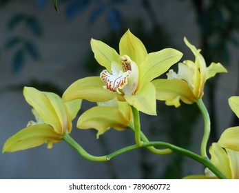 Cymbidium orchid, Orissa Christmas cheer, Orchidaceae family.