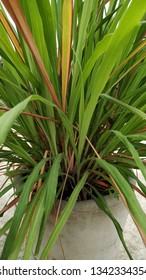 Cymbopogon, better known as lemongrass, is a genus of Asian, African, Australian, and tropical island plants in the grass family. It is commonly cultivated as culinary and medicinal herbs.