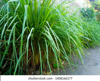 Cymbopogon, better known as lemongrass. Some species (particularly Cymbopogon citratus) are commonly cultivated as culinary and medicinal herbs because of their scent, resembling that of lemons.