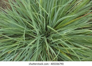 Cymbopogon citratus