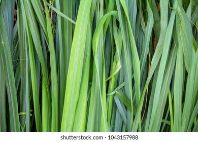 Cymbopogon citratus for background