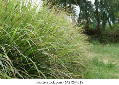 Cymbopogon citratus, better known as lemongrass,silky heads, citronella grass, cha de Dartigalongue, tanglad, serai, hierba Luisa, or gavati chahapati