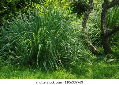 Cymbopogon citratus Biennial plant height about 4-6 feet long, slender, thistle-leaf The trunk is a clump of fragrant flowers, a bouquet of flowers with a large number of flowers.