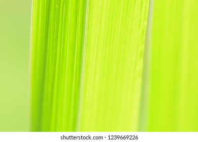 Cymbopogon citratus green leaves background