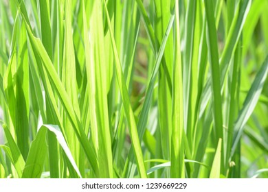 Cymbopogon citratus green leaves background