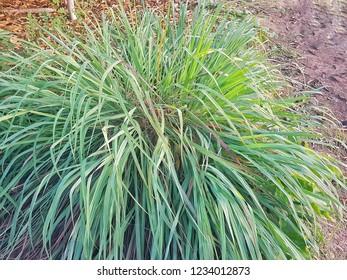 Cymbopogon citratus Herbs , vegetables garden