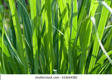 Cymbopogon citratus leaf with sunlight for background