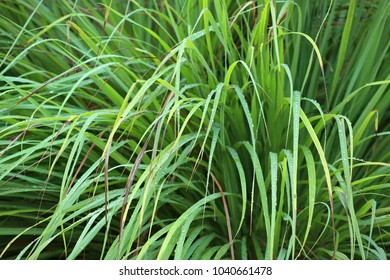 Cymbopogon (lemongrass) - a genus in the grass family