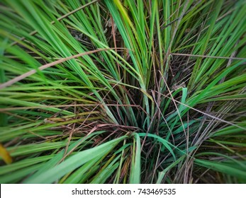 Cymbopogon nardus,a fragrant natural oil used as an insect repellent and in perfume and soap manufacture.