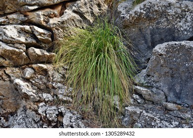 Cymbopogon plant better known as lemongrass is growing on the way to the Formentor lighthouse in Mallorca, Spain