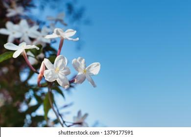Cymose clusters of jasminum grandiflorum flowers with space for copy text. Spanish jasmine climbing shru