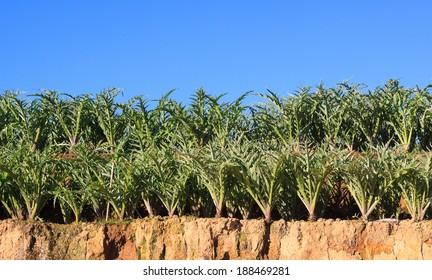 Cynara scolymus tree