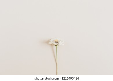 Cynicism flower on beige background. Flat lay, top view.