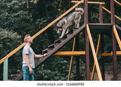 cynologist with obedient husky dog on stairs obstacle
