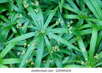 Cyperus alternifolius papyrus green plant background