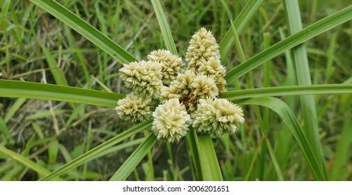 Cyperus luzulae, Zacate de Estrella The bighead, coquito or cutter, Cyperus luzulae is a species of plant of the genus Cyperus