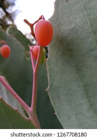 Cyphostemma, cobas ripe seed, South Africa