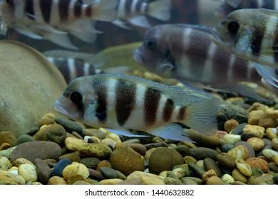 Cichlid Tank Images, Stock Photos & Vectors | Shutterstock