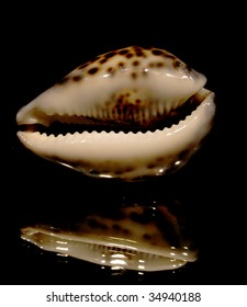 Cypraea Tigris seashell 0701