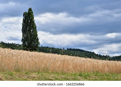 cypres and wheat fields and blue sky