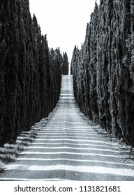 Cypress alley with rural country road, Tuscany, Italy. Black and white image.