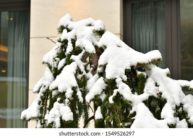 Cypress branch covered on snow in front of a window