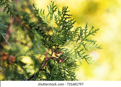 Cypress branch in rim sunlight with copy space. background with branches arborvitae thuja evergreen tree cypress border natural ornament