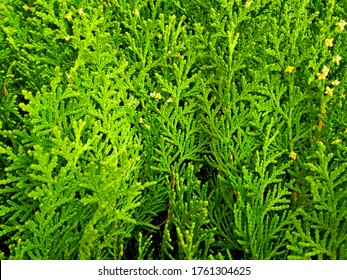 Cypress cedar thuja arborvitae conifer tree branch. Thuja occidentalis evergreen conifer bush (tree) in cypress family. Macro cypress shrub & cones. Conifer thuja flower of cypress green background