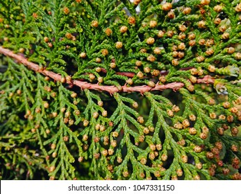 Cypress cedar tree branch close-up. Thuja occidentalis bush is evergreen coniferous tree in cypress family Cupressaceae. Macro smile cones branch pattern. Conifer seeds of cypress on green background