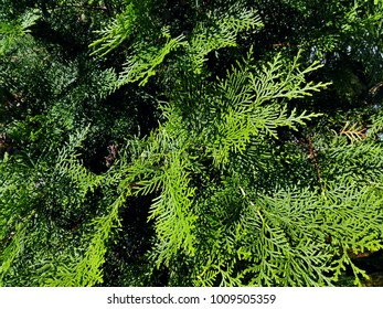 Cypress cedar tree branch. Thuja occidentalis bush is evergreen coniferous tree, in cypress family Cupressaceae. Macro of cypress branch with cones. Conifer Seeds of cypress against green background.