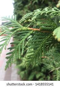 Cypress cedar tree branch. Thuja occidentalis bush is evergreen coniferous tree in cypress family Cupressaceae.