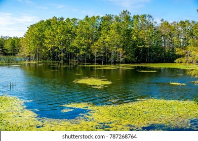 cypress dome in Florida swamps