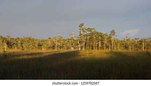 Cypress Dome lights up gold at sunset in the Florida Everglades