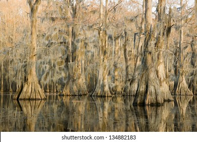 """Cypress forest at sunset and hanging from a strand Spanish moss in a state park, """"Caddo Lake"""", Texas, USA"""