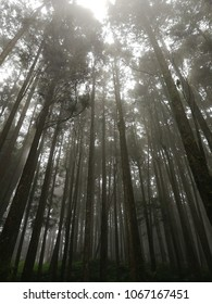 Cypress forests or Pine trees forest on a foggy day at Alishan National Forest Recreation Area, Chiayi, Taiwan