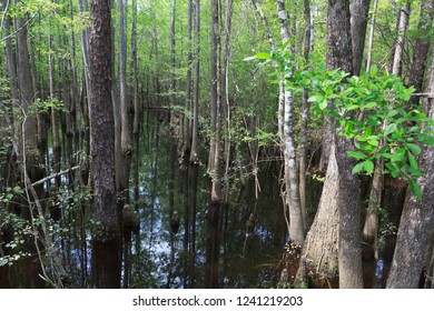 Cypress growing in shallow area with new green growth along Blackwater River in northwest Florida.