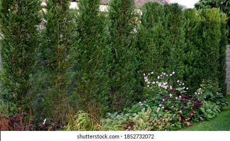 The cypress hybrid grows rapidly and forms beautiful hedges of coniferous gray, green. slim and wide. shields like a concrete stone wall like a road. granite retaining wall dense cut hedge. Garden all