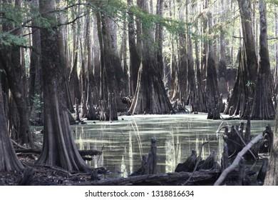 cypress lake swamp