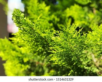 Cypress in pot, Coniferous trees street on background.