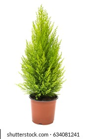 Cypress in pot isolated on white background. Coniferous trees