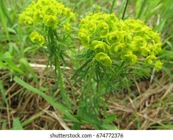 cypress spurge, Euphorbia cyparissias,