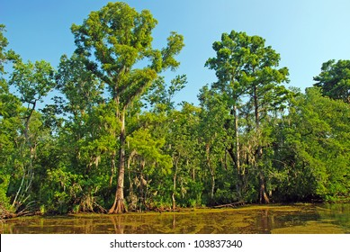 Cypress Swamp in the Louisiana Bayou