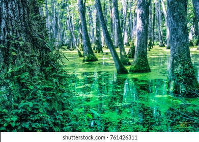 Cypress swamp at Mississippi with small crocodile getting tan and tree with roots looking for oxygen