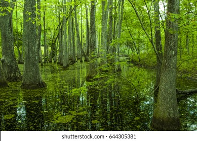 Cypress Swamp on the Natchez Trace in Mississippi