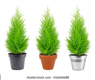 cypress in three different pots on a white background