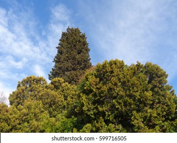 Cypress and thuja trees against blue sky