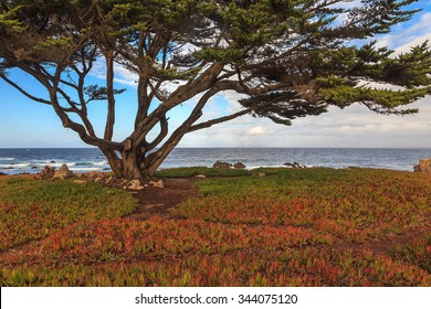 Cypress tree by the Pacific Ocean, California, USA.